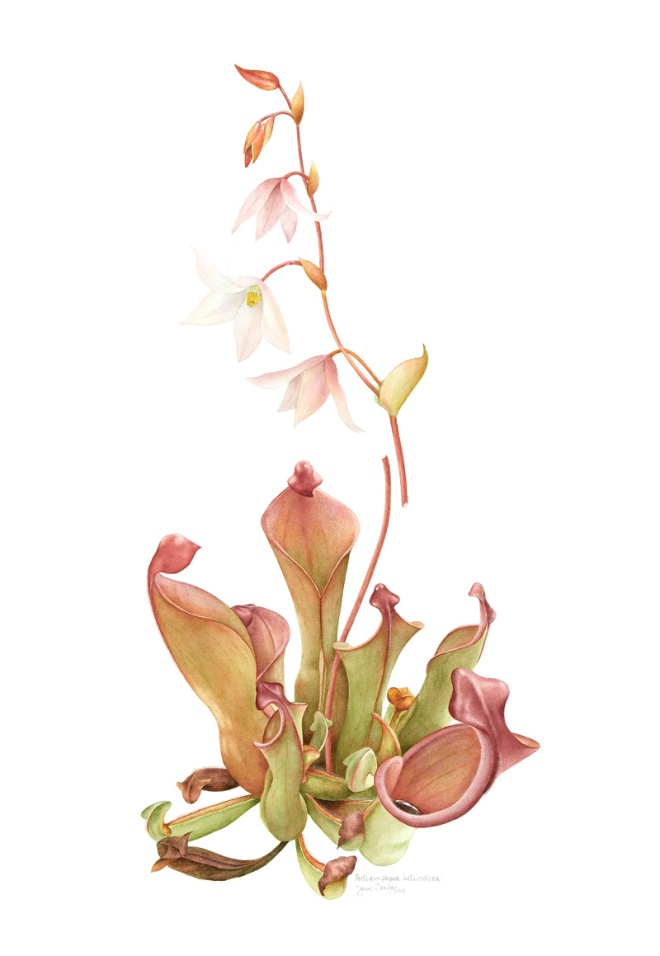 Heliamphora heterodoxa South American sun pitcher ©Jane Stark