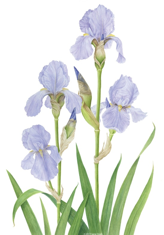iris_killiney_web
