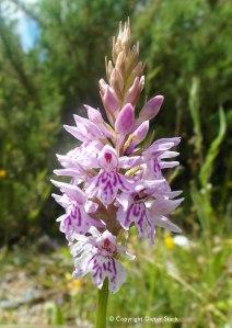 Dactylorhiza-fuchsii-fuchsii-0025