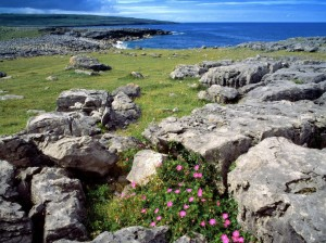 Wildflowers in the Burren, Co. Clare, Ireland