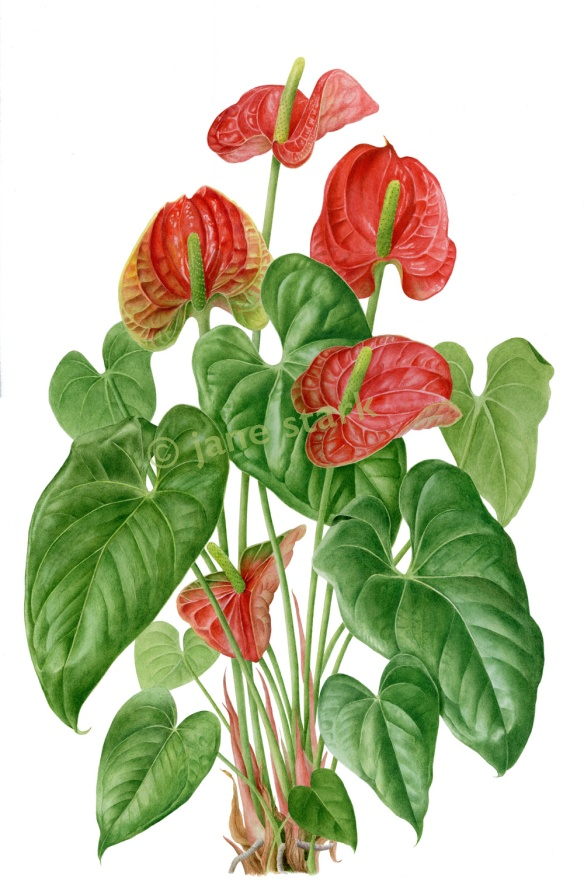 Anthurium hybrid (watercolour) ©Jane Stark