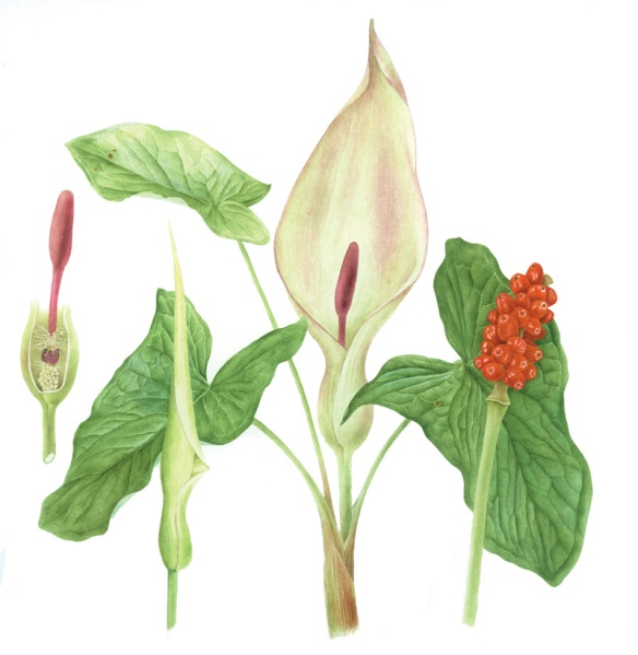 Arum maculatum Lords and Ladies. ©Jane Stark