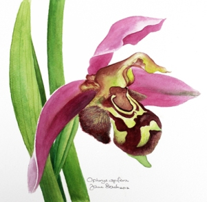 Ophrys apifera Bee orchid ©Jane Stark